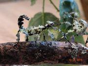 EIER Australische Gespenstschrecke Extatosoma tiaratum