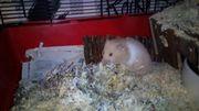Hamster Dame