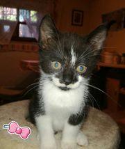 EHK Kitten