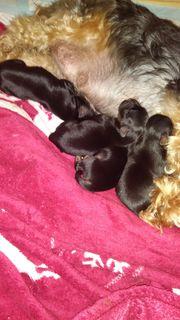 Yorkshire-Chihuahuawelpen sind geboren