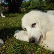 Welpen Podhalaner Pyrenäenberghund