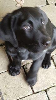 Welpe Labrador Mix 10 Wochen