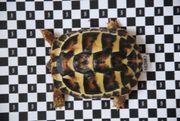 THH Griechische Landschildkröte