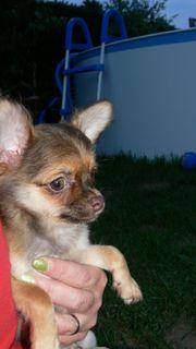 Nur noch Happy Chihuahua Bube