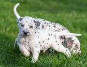 Maiblumenwiese-Dalmatiner suchen