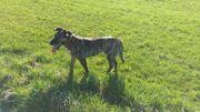 Dingo Windhund-Mischlingsrüde ca 7 5