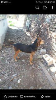 Beaglemix,Familienhund,freundlich,