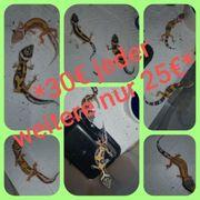 Leopardgecko Babys