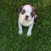 Französische bulldogge x