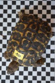 Griechische Landschildkröte Sardische Form männnlich