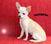 Süße Chihuahua Rüden zum Liebhaberpreis
