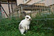 Kaninchen (Riese) Luna