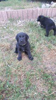 Labrador - Retriever Welpen
