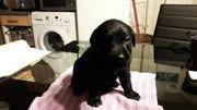 6süße kleine labrador welpen suchen