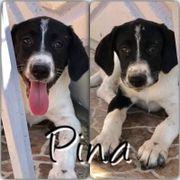 Pina (Hündin aus