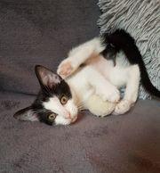 Super schmusige Kitten suchen