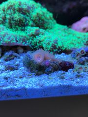Korallenableger Meerwasser Koralle SPS Anemone