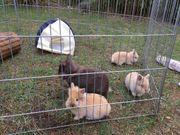 Löwenköpfchen Baby Kaninchen