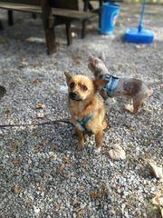 Fancy Schipperke Chihuahua Mix Hündin