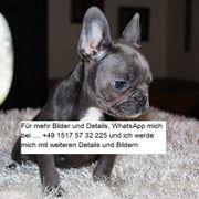 11 Wochen alter französischer Bulldogge