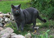 Chartreux Kitten bei