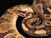 Königspython Python Regius wegen Hobbyaufgabe