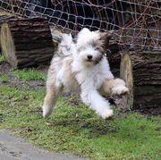 Tibet Terrier Rüden