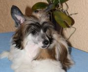 Chinese Crested Welpe