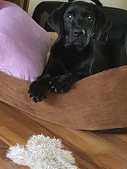Labrador Welpe Rüde