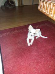 Chihuahua Hündin vier