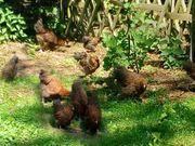 Hühner Orpington und zwerg Orpington