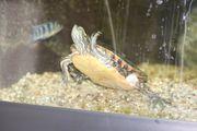 Wasserschildkröte Chrysemys Picta