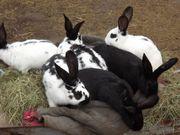 Kaninchen-Riesenschecken