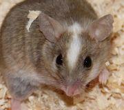 Mäuse Ratten Vielzitzenmäuse
