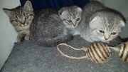 bkh scotisch fold Kitten m