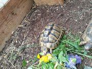 Landschildkröten Testudo graeca