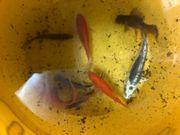 Teichfische wegen Auflösung bei heutiger