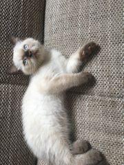 BKH Kitten zu