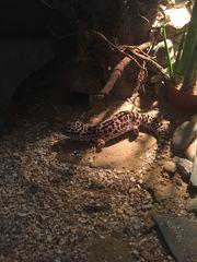 Sonstige Reptilien Amphibien In Ettlingen Reptilien Terraristik