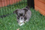 Chihuahuawelpen aus seriöser