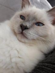 BLH Katzenkind