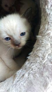 Siam Baby Kätzchen