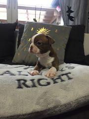 Boston Terrier Babys in Sonderfarbe