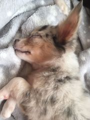 Chihuahuadame sucht zuhause