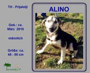 Alino - freundlicher Familienhund