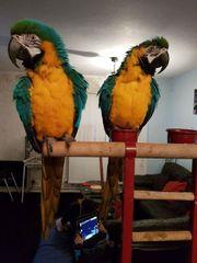 Mooie paar Macaws papegaaien beschikbaar