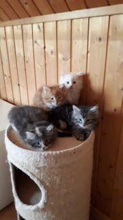 Norwegische Waldkatzenbabys