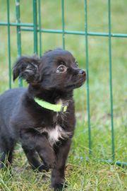 energie Chihuahua Welpen