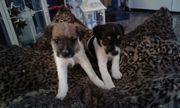 Parson Rusell Terrier