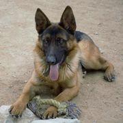 Ladrillo - ein liebevoller Schäferhund